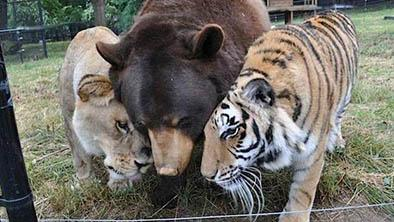 Un oso, un león y un tigre son amigos desde hace 13 años