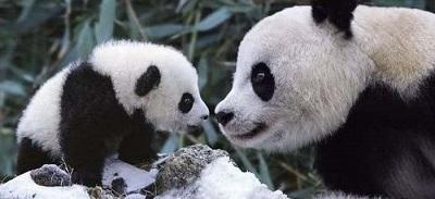 Osos pandas se postulan para ser los sucesores del pulpo Paúl