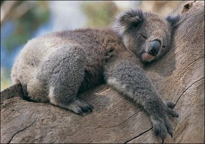 Koalas abrazan el árbol más frío para sobrevivir cuando tienen calor