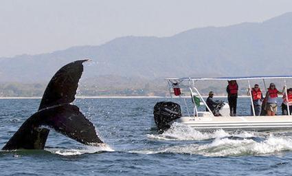 Alistan detalles para el festival de ballenas en Puerto Cayo