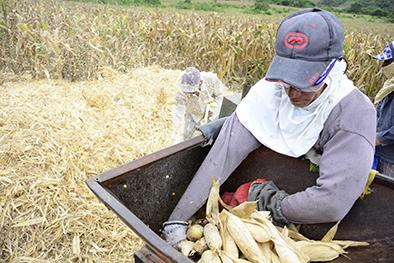1.500 hectáreas de maíz se dañaron