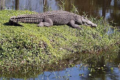 Cocodrilo mató a un turista en un parque