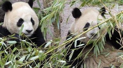 Prohíben usar osos panda como adivinos en el Mundial