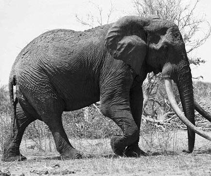 """Cazadores matan a elefante """"sensación"""""""