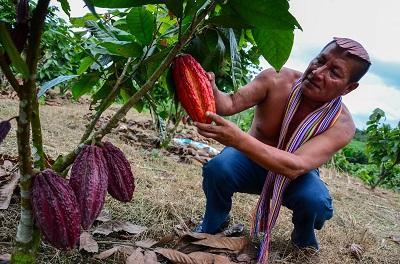 Santo Domingo es sede de la poda nacional de cacao
