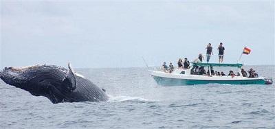 12 ballenas serán apadrinadas en festival de Puerto López