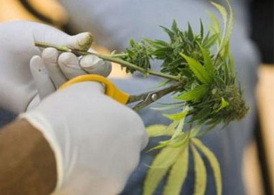 Nueva York legaliza la marihuana para uso médico