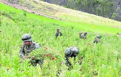 Ecuador erradic m s 4 millones plantas marihuana amapola for Plantas ornamentales del ecuador