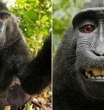 Resuelven el conflicto legal del 'selfie' tomado por un mono