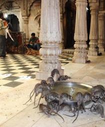 El templo de las ratas, otra curiosidad india convertida en reclamo turístico