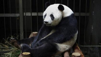 Osa panda finge embarazo y la descubren
