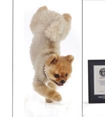 Jiff, el perro capaz de correr sólo usando sus patas delanteras