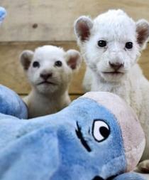 Nacen tres leones blancos en un zoológico de Serbia