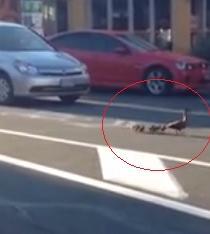 Patos alteran el tránsito en Nueva Zelanda (Video)