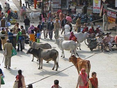 La India prohíbe el paso de reses a Nepal para ser decapitadas a machetazos