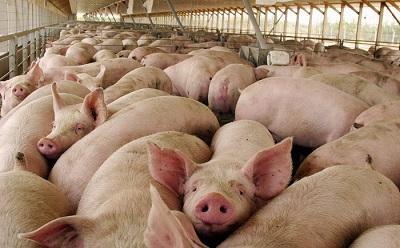 Roban 68 cerdos en Santo Domingo de los Tsáchilas