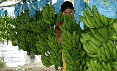 Fijan en $6,55 el nuevo precio para la caja de banano de exportación