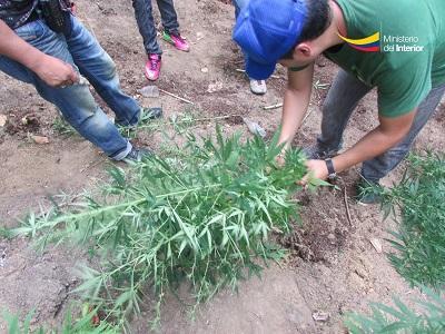 Descubren un sembrío de marihuana en la parroquia Alajuela