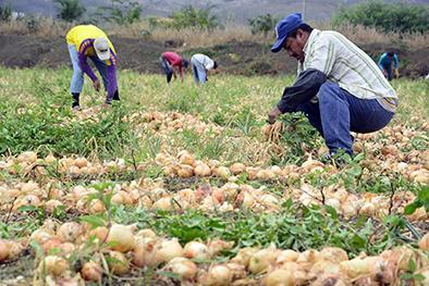 Productores de cebolla pasan por su peor época