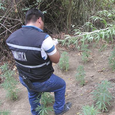 Hallan un sembrío de marihuana en la parroquia Alajuela