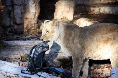 Hombre resulta gravemente herido tras irrumpir en un recinto de leones