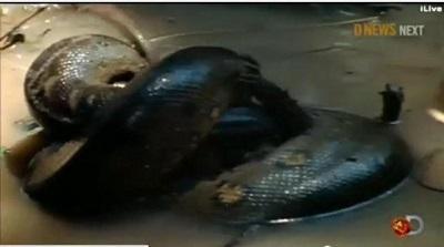 Aventurero no cumplió la hazaña de ser devorado por una anaconda (Video)