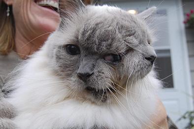 Muere Frank y Louie, el  curioso gato de dos caras