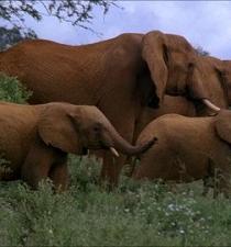 Hombre muere aplastado por una manada de elefantes en Kenia