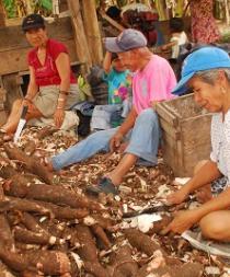 La yuca se impone a otros cultivos al resistir el cambio climático