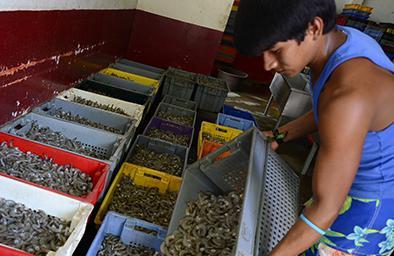 Se reactiva el sector camaronero de Manabí