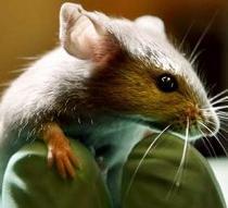Logran duplicar la vida de ratones con envejecimiento prematuro