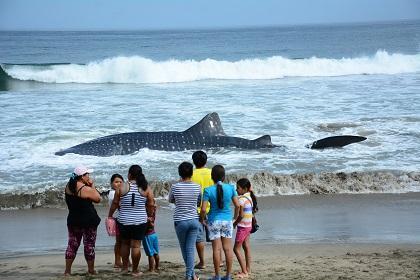 Intentan regresar al mar a tiburón ballena que se varó en playa Santa Marianita