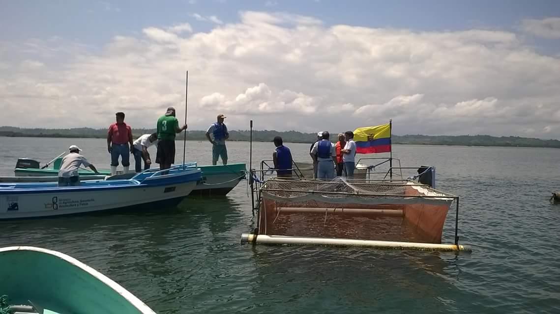 Alistan nueva cr a de camarones en jaulas el diario ecuador for Criaderos de pescados colombia