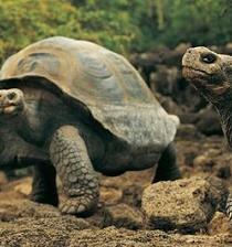 Liberarán a 207 tortugas gigantes en isla del archipiélago de Galápagos