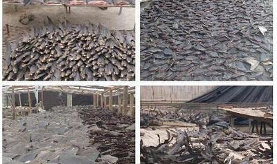 Policía decomisa alrededor de 100 mil aletas de tiburón en Manta
