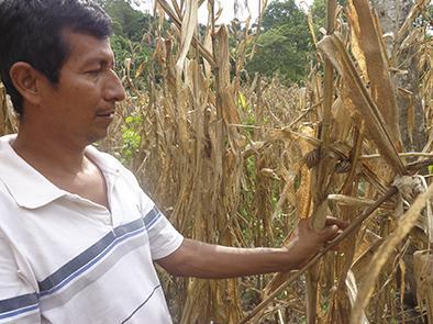 El caracol azota decenas de cultivos
