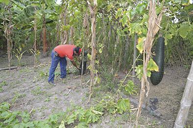 Cultivan especie de pepino gigante