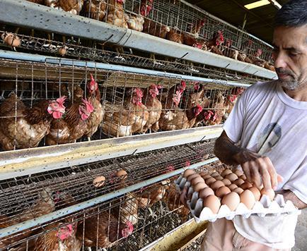 La producción de aves fortalece la economía