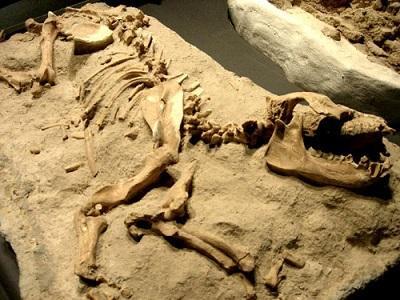 Hallan células de dinosaurios en fósiles de hace 75 millones de años