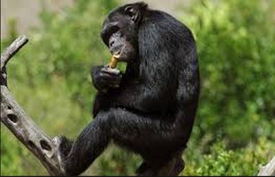 Los chimpancés en África consumen alcohol de forma voluntaria