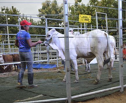 Buscan evitar los intermediarios en  la venta de ganado