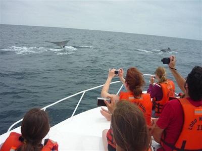 Las ballenas jorobadas llegan al sur de Manabí