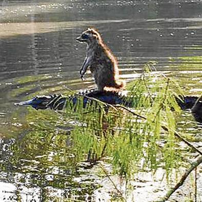 Pequeño mapache  'domina' a un caimán