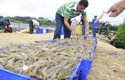 Manabí aporta con el 9% de camarón en exportación