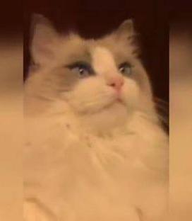 Gato queda 'hipnotizado'  cuando le lavan los dientes