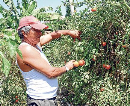 Simón, el tomatero de la universitaria