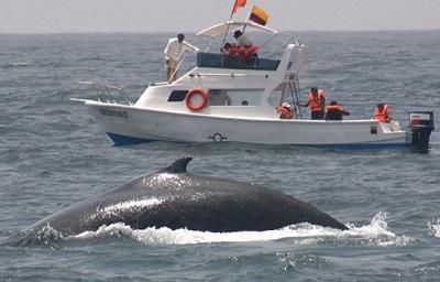 Hoy inicia festival de ballenas jorobadas en Puerto López