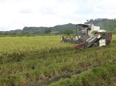 El cultivo de arroz revienta en Olmedo