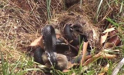 Coneja salva a su cría de morir asfixiada por una serpiente