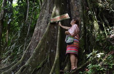 Tolón Pelé, el árbol sagrado de los Tsáchilas